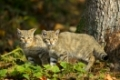 Wildcat, Felis silvestris, two Kittens, Germany