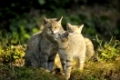 Wildcat, Felis silvestris, Mother and Cubs, Germany