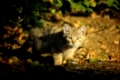 Young Wildcat, Felis silvestris, Germany