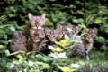 European Wild Cat with kittens   /   (Felis silvestris)   /   Europaeische Wildkatze mit Jungtieren