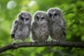 Waldkauz, Tawny Owl, Strix aluco, Deutschland, Germany, Europa, Europe