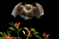 Grosses Mausohr, (Myotis myotis), Deutschland, Fledermaus im Flug, fliegend, Fledermaeuse, fliegt, Hagebutten, Hagedorn, Weißdorn, Fruechte, beringt, mit Ring | Greater mouse-eared bat, (Myotis myotis), Germany, bat in flight, bats, flying, haw, hawthorn, large, fruits, ringed, with ring
