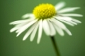 close up of white daisy on artistic background