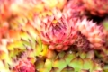 Closeup of a red and green sempervivum flower