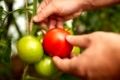 farming, gardening, agriculture, harvest and people concept - hands of senior farmer picking tomatoes at farm greenhouse