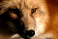 Gesicht des Rotfuchses