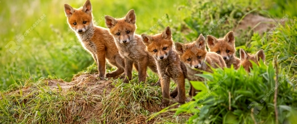 Red fox, vulpes vulpes, small young cubs near den curiously weatching around. Cute little wild predators in natural environment. Brotherhood of animlas in wilderness.