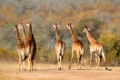 Small herd of giraffes (Giraffa camelopardalis) in the African savanna