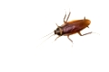 Isolated cockroach on white background, insect not welcome in kitchen.