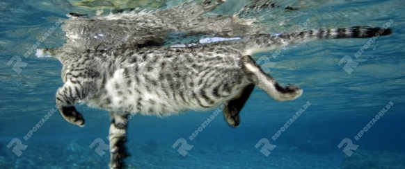 Katze schwimmt im Meer, Cat swimming in the sea, Rotes Meer, Aegypten, Red sea, Egypt