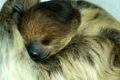 Sleeping Hoffmann's two toed Sloth Choloepus hoffmanni.
