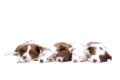 Five border collie puppy dogs in a row in front of a white background