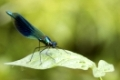 Banded demoiselle   (Calopteryx splendens) perched on a leaf
