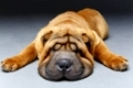 beautiful shar pei puppy sleeping isolated on white background. copy space.