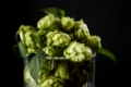 hops in a beer glass with green leaves. Fresh herbal ingredient for beer production. Selective focus