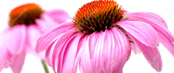 Sonnenhut Purpur - Purple Coneflower 41