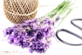 Fresh lavender on the white shabby wooden table with rope and scissors