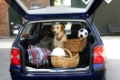 Urlaub mit Hund, blonder Labrador, Kofferraum, Holiday with dog, Labrador Retriever in car
