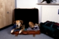 Old Mixed Breed Dog lying in suitcase with clothings   /   Alter Mischlingshund liegt in gepacktem Koffer   /   [Tiere, animals, Saeugetiere, mammals, Haushund, domestic dog, Haustier, Heimtier, pet, innen, inside, seitlich, side, Teppich, carpet, aufmerksam, alert, liegen, lying, adult, Querformat, horizontal, Reise, traveling, travelling]