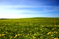 field on which a large number of dandelions grows. spring season