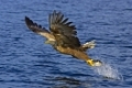 White-tailed Sea Eagle (Haliaeetus albicilla) grabbing fish (bait), Seeadler, Norway, Norwegen, Europa.