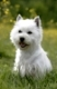 Westhighland White Terrier, male sitting in meadow