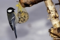 Great Tit, Kohlmeise, Parus major, Europa, europe, Vogel, Singvoegel, songbirds, songbird, bird