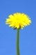 A photography of two yellow dandelion and a bright day