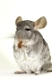 chinchilla, chinchill, chinchillidae, gnawer, household pet, pets, homepet, homepets, haustiere, haustierfotos, photos, langschwanz-chinchilla
