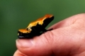 Poison Arrow Frog, Poison Dart Frog, on human thumb   /   (Dendrobates galactonotus)   /   Pfeilgiftfrosch auf Daumen   /   [Suedamerika, south america, Regenwald, tropical rain forest, Andere Tiere, other animals, Amphibien, amphibians, Pfeilgiftfroesche, poison dart frogs, Finger, Hand, innen, Studio, inside, seitlich, side, rot, red, schwarz, black, giftig, poisonous, sitzen, sitting, adult, gefaehrlich, Gefahr, dangerous, Mensch & Tier, human & animal, Querformat, horizontal]