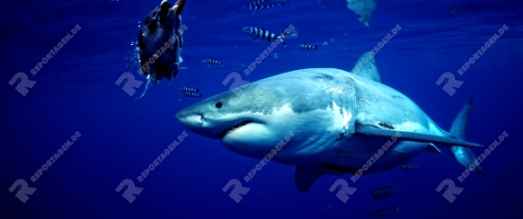 Weisser Hai, Carcharodon carcharias, Mexiko, Pazifischer Ozean, Guadalupe | Great White Shark, Carcharodon carcharias, Mexico, Pacific ocean, Guadalupe