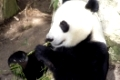A panda takes lunch as he does for most of the day on bamboo