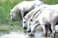 white wild horses in the Camarge landscape south of france