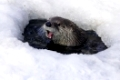 Fischotter (europäischer), Lutra lutra, European Otter, playing in a icehole in winter, captive, Germany