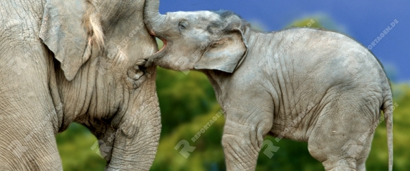 Asian Elephant with young   /   (Elephas maximus)  /   Asiatischer Elefant mit Jungtier