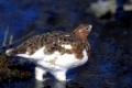 Moorschneehuhn schoepft Wasser am Savage River / Willow Ptarmigan drinking water at Savage River - (Willow Grouse) / Lagopus lagopus