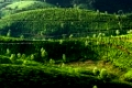 Tea plantation landscape. Munnar, Kerala, India. Nature background