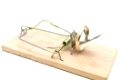 Single mousetrap with golden ring against the white background